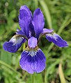 Iris sanguinea.JPG