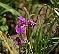 Iris sibirica 'Ruby Wine' (2001-0068*A).JPG