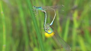 File:Ischnura elegans - 2014-06-07.webm