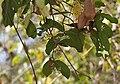 Ixora brachiata W IMG 5979.jpg