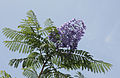 Jacaranda mimosifolia 3994.jpg