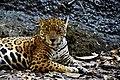 Jaguar (155349039).jpeg