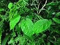 Jasminanthes mucronata 蛇瓣花 2 (天問).jpg