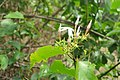 Jasminum malabaricum - Malabar Jasmine at Blathur 2014 (6).jpg