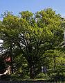Jena Naturdenkmal Traubeneiche Sickingenstr.jpg