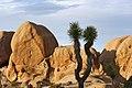 Joshua tree (Yucca brevifolia) near Split Rock Loop Trail (14430496946).jpg