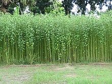 Jute Field Bangladesh (7749587518).jpg