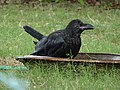 Juvenile Large-billed Crow 01.jpg