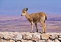Juvenile Nubian ibex in Mitzpe Ramon (40407).jpg