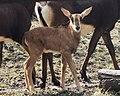 Juvenile sable antelope (Hippotragus niger), Moscow Zoo.jpg