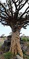 Köcherbaum Namibia.jpg