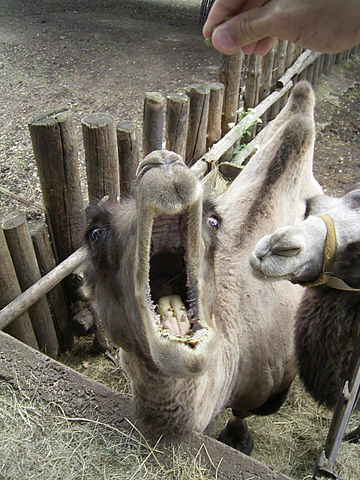 Plik:Kamel hungrig 1.jpg