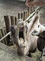 Kamel hungrig 1.jpg