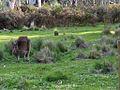 Kangaroo at Grampians.jpg