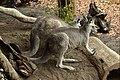 Kangaroos at WILD LIFE Sydney Zoo (Ank Kumar) 01.jpg