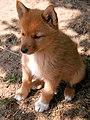 Karelo Finnish Laika puppy.jpg