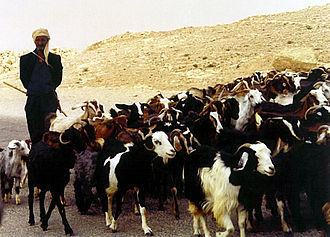 Goatherd - A man herding goats in Tunisia