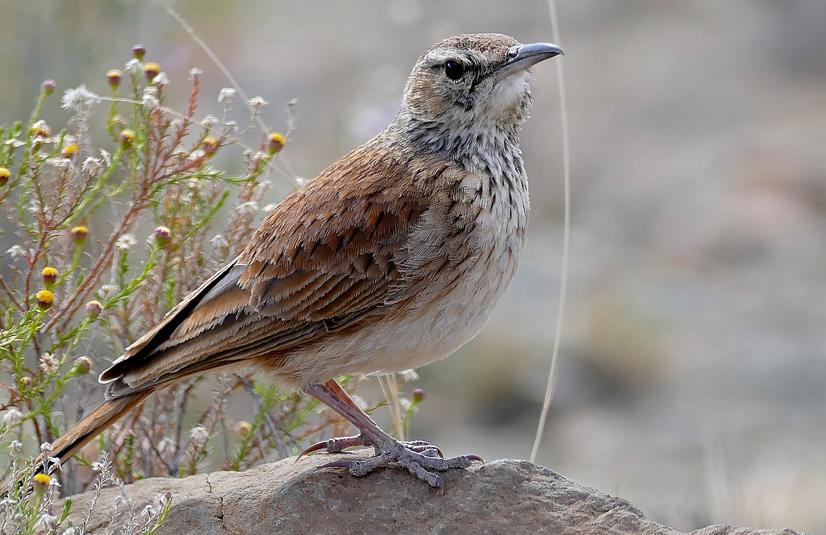 Karoo Long-billed Lark