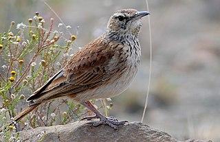 Karoo long-billed lark species of bird