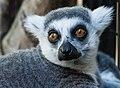 Katta Lemurs 2.jpg