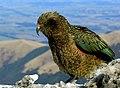 Kea.NZ Alpine parrot. (15015371855).jpg