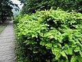 Keleleeria davidiana var. formosana 台灣油杉 - panoramio.jpg