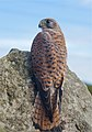 Kestrel Sunning Itself (50071382).jpeg