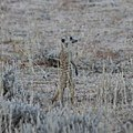 Kgalagadi Transfrontier Park - Suricata suricatta.jpg