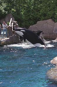 Killer whale(Vancouver)04(js).jpg