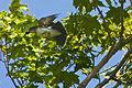 Kingbird 4.jpg