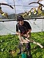 Kiwifruit vine grafting 8.jpg