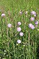 Knautia arvensis.jpg