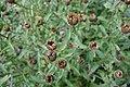 Knoopkruid (Centaurea jacea L., Jacea nigra vulg.) Hortus Botanicus Leiden (NL).jpg