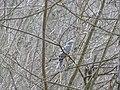 Kobac (Accipiter nisus), Eurasian Sparrowhawk.jpg