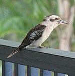 Kookaburra on the Balcony (30859864802).jpg