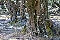 Korfu (GR), Agii Douli, Olivenhain -- 2018 -- 1289-93.jpg