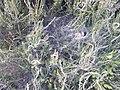 Labyrinth Spider web, Hindhead Common 01.jpg