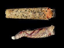 Lagis koreni (with and without tube).jpg
