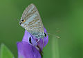 Lampides boeticus - Long-tailed Blue.jpg