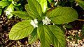 Lantana lucida Schauer (4101478922).jpg