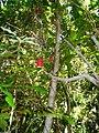 Lapageria rosea Kodkülla (lin linao).jpg