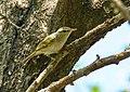 Large-billed Leaf Warbler (Phylloscopus magnirostris) (31652799867).jpg