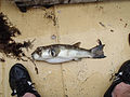 Large butterfish Gambia.jpg