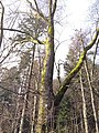 Large tree with moss (8314393361).jpg