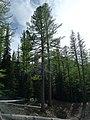 Larix occidentalis 5.jpg