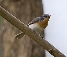 Leaden flycatcher2.jpg