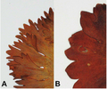 Leaf of R. acreaus and R. piliferus.png