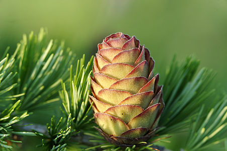 Female cone of Japanese Larch