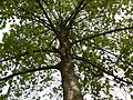Leichhardt Pine (2078207818).jpg