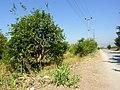 Lemon Trees - panoramio.jpg